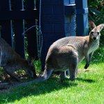 Känguru Versteck